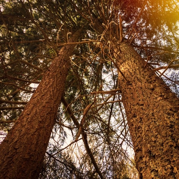 http://growingforest.net/files/gimgs/th-47_2douglasfirtrees.jpg