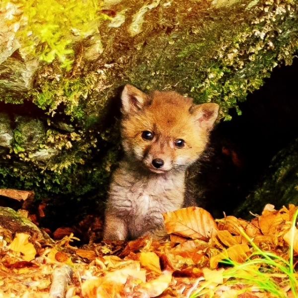 http://growingforest.net/files/gimgs/th-47_foxchild.jpg