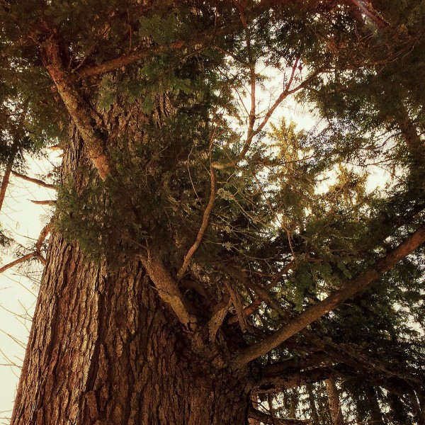 http://growingforest.net/files/gimgs/th-47_whitefir-c.jpg